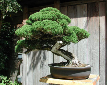 bonsai-viveros-las-rozas-de-madrid